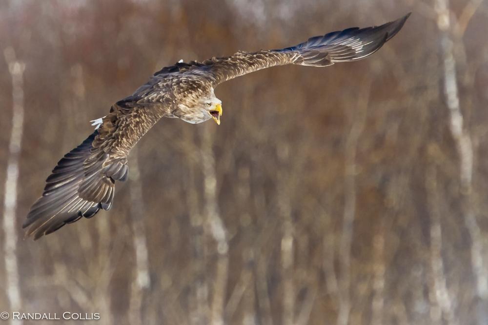 White Tail Sea Eagle Hokkaido - Perception of Time-17