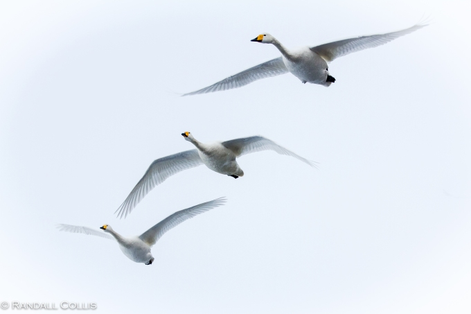 Whooper Swans Lake Mashuko - Perception of Time-3