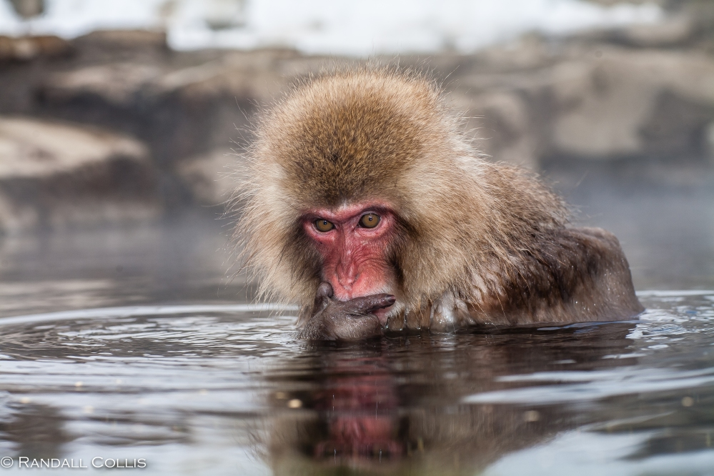 Japanese Macaque Snow Monkey - Perception of Time-6