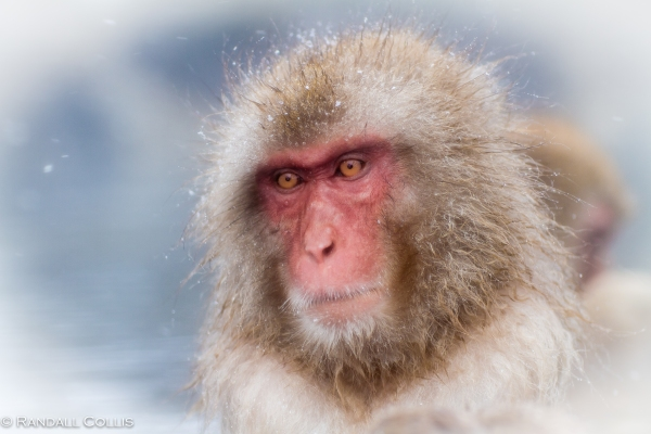 Japanese Macaque Snow Monkey - Perception of Time-8