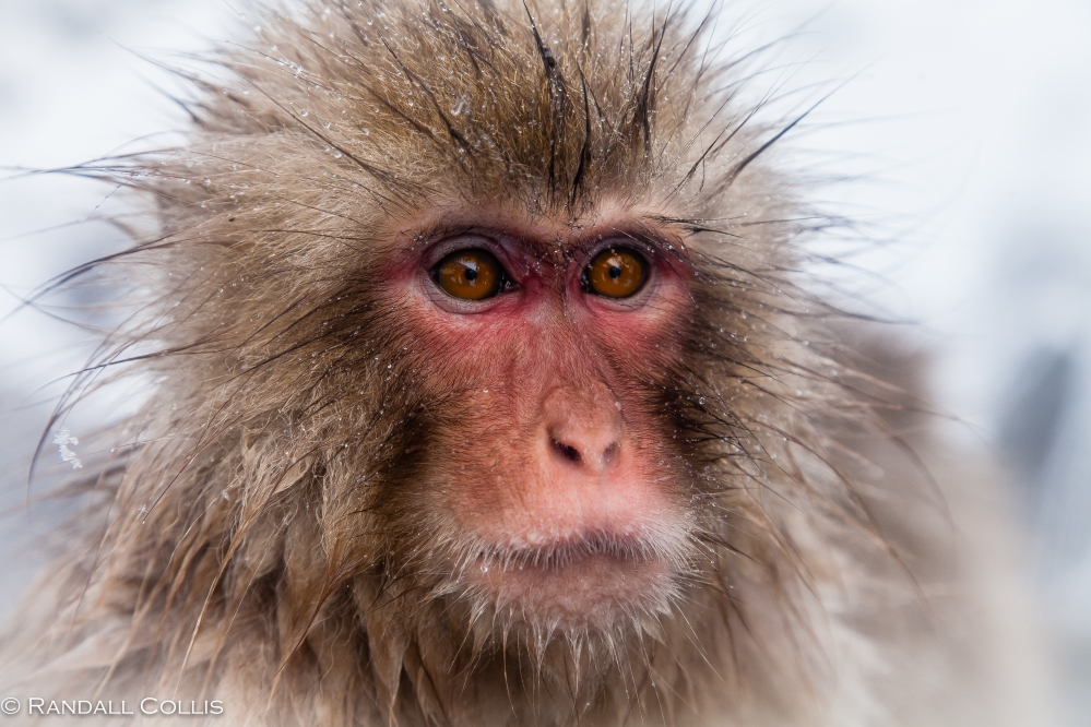 Japanese Macaque Snow Monkey - Perception of Time-9